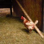 Eines unserer Chicks auf dem weg in das 4Sterne Luxus Apartement