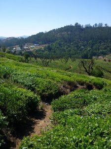 Teeplantagen in Südindien